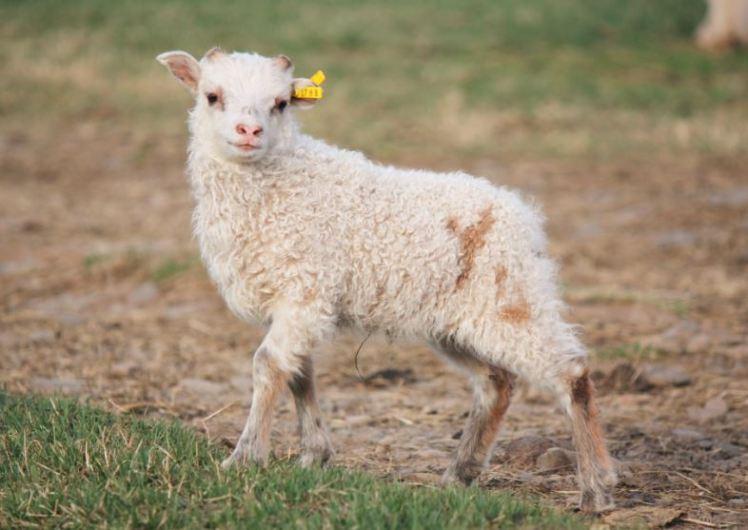 gult-lamb